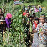Satgas Pamtas Bersama Masyarakat Desa Sekadayun Taka Panen Hasil Pertanian