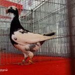 Rekor MURI peserta terbanyak Kontes merpati Hias , PMHB Catat Sejarah untuk BONE, 1007 ekor burung terlibat didalamnya