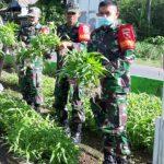 Manfaatkan Lahan Area Kantor: Anggota Koramil 1407-21/Palakka, Panen Kangkung