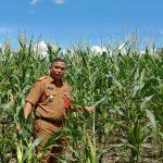 Mewujudkan Jagung Sebagai Salah Satu Penyangga Ekonomi Di Nunukan
